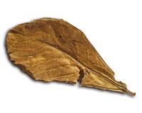 Seemandelbaum